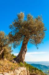 Wall Mural - Alter Olivenbaum auf Mallorca