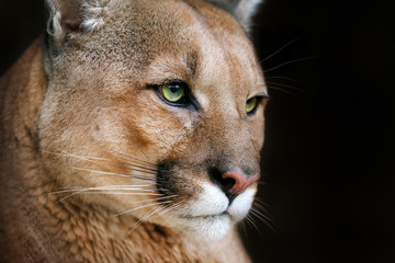 Puma portrait with beautiful eyes on black background