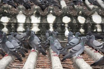 Freedom bird , pigeon bird flying