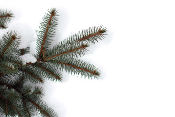 barbed spruce winter/ evergreen tree decorated with snow