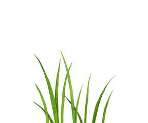 Watercolor drawing green grass