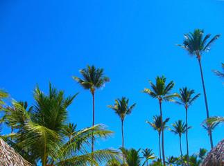 Coconut palm tree on blue sky background. Jungle Landscape Exotic Paradise