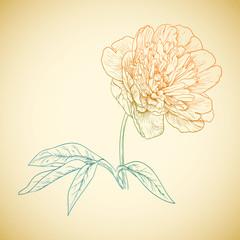 Vector colored peony.