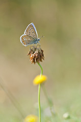 blue butterfly heating on dry plant