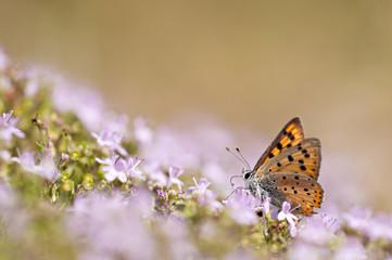 orange butterfly feeding on pink flower