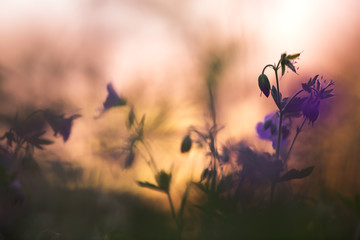 Wood cranebill, Geranium sylvaticum in sunset