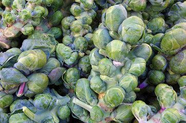 Fresh picked brussel sprouts on stalks