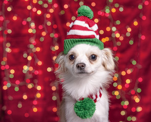 Pet dog with christmas hat and scarf.