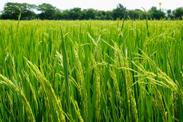 Green rice field in nature at Thiland