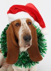 Happy New Year, Christmas Basset hound sitting, isolated
