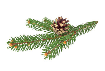 Fir tree branch with pine-cone isolated on white background
