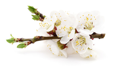 Apricot flowers on white.