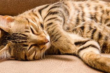Joven Gato Bengalí, durmiendo. Prionailurus bengalensis.