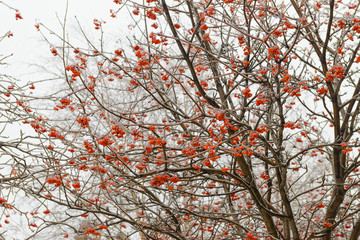 freezing rain on the branches and a bunch of rowan