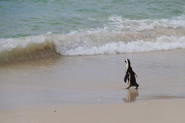 African penguin walking to the sea , South Africa