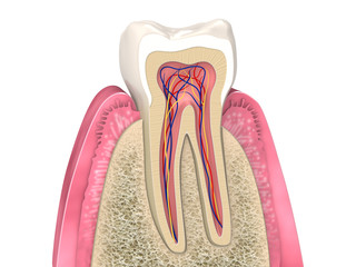 Dental anatomy - Upper molar longitudinal section with bone structure and gum section