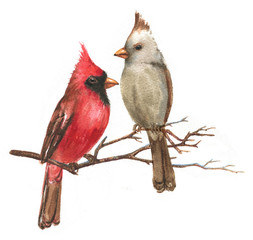Hand-drawn watercolor illustration - a couple of the Northern Cardinals on the branch. Wild colorful bird drawing. Bird isolated illustration