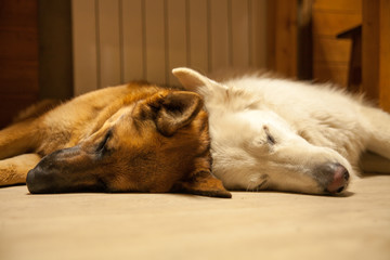 Two dogs sleep together under the table. German Shepherd and Swiss Shepherd. Dark tan and white dog.