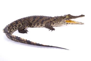 Wall Mural - Nile crocodile,Crocodylus niloticus