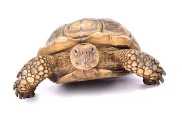 African spurred tortoise,Centrochelys sulcata