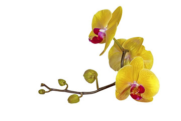 Yellow Phalaenopsis Orchid Flowers Stem and Buds