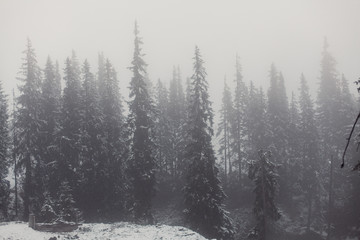 Landscape with pine forest in snow