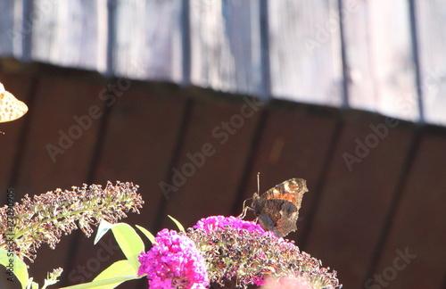 papillon belle dame sur fleur de buddleia de david