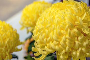 黄色い和菊