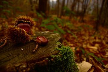 Riccio con castagna sopra un ceppo nel bosco