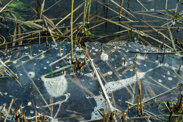 Melting ice on a lake with grass and reed