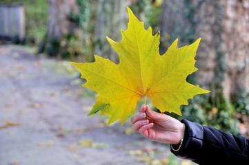 Grande feuille d'érable en automne