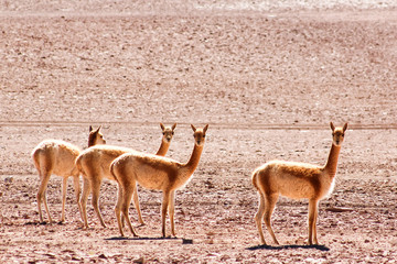 Vicunas in the desert