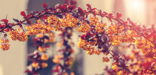 beautiful spring background. Branches of barberry sunlight small depth of field. use as background. lights