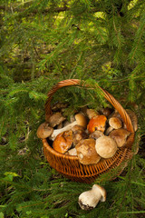 Wicker Basket With Fresh Edible Mushrooms Near fir-tree In Forest, Top View. Mushroom Boletus Edulis (Porcini).
