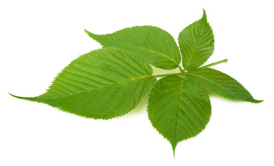 Blackberry leaf isolated on a white background with clipping path