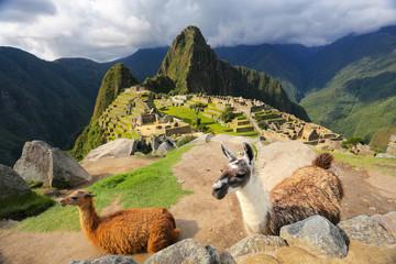 Llamas standing at Machu Picchu overlook in Peru