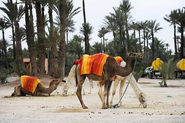 camellos palmeral Marrakesh