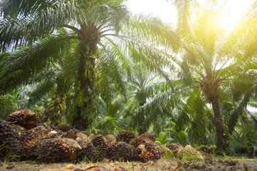 Alternative Energy - Palm oil plantation and morning sunlight