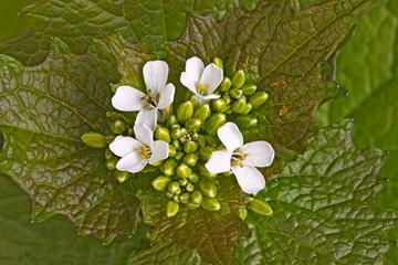 Leafy stem and flowers of garlic mustard