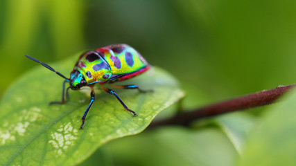 Close up of beetle on green leave and blurred nature background