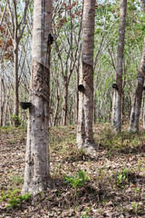 Rubber tree  At South Thailand