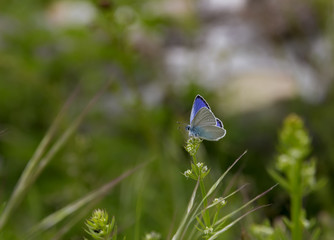 beautiful blue butterfly on flower in garden , blurred background