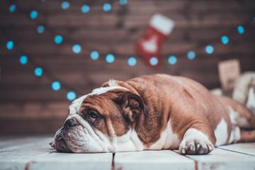 cute English bulldog lying uner xmas tree