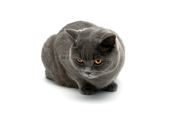 gray cat isolated on white background