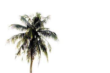Coconut tree on white.