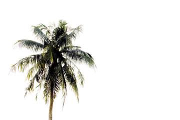 Coconut tree on white.