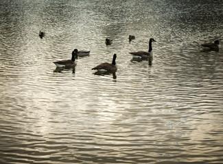 Geese in serene lake waters in Humboldt Park