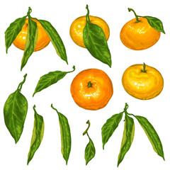 Set of mandarins. Tropical fruits and leaves
