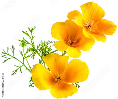 Flower eschscholzia californica california poppy golden poppy flower eschscholzia californica california poppy golden poppy california sunlight cup of gold mightylinksfo