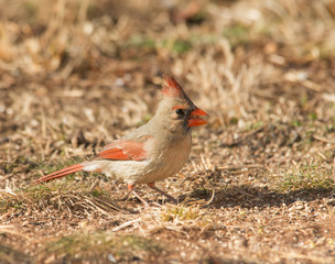 Female Northern Cardinal eating seeds on the ground in winter